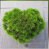 bonsai_japan