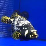 bumblebeefish