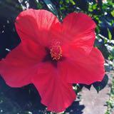 hibiscus2217