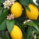 lemonloving