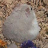 hamsterpotadou