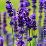 lavender13