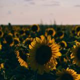 ___sunflower___