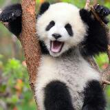 little.panda8