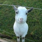 happygoat1