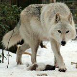 snowwolf615