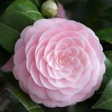 camelliashiu