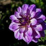 purplesweetblossom