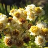 edelweisshop