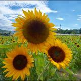 sunflower2004
