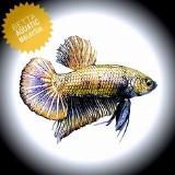 aquaticbetta