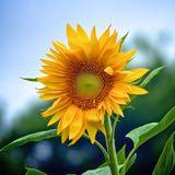 sunflower0829