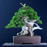 exotic_japan_bonsai