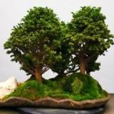 pan_bonsai