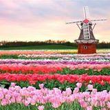 tuliprol