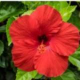 hibiscusmy