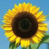 sun_flower_py