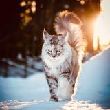 maine_coon_cat